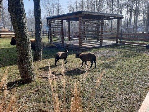 owieczki wmini Zoo wNiechorze - Baltic Natur Park